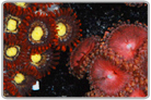 Fireball Zoa's and Constantine Paly's